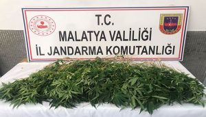 Malatya'da 589 kök Hint keneviri ele geçirildi
